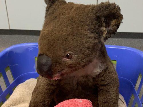 Daria Zawiałow i Organek pomagają koalom w Australii